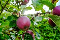 Νέα φρούτα της Apple που βλέπουν σε έναν εμπορικό οπωρώνα που παρουσιάζει νέα φρούτα στις αρχές του καλοκαιριού Στοκ εικόνα με δικαίωμα ελεύθερης χρήσης