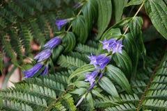 Νέα φωτεινά φύλλα και λουλούδια του πορφυρών κουδουνιού και της φτέρης στοκ εικόνες