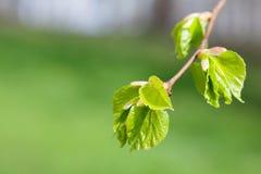 Νέα φύλλα δέντρων Linden Φρέσκια πράσινη χρονική σκηνή άνοιξη φύλλων μακρο κλάδος άποψης, μαλακό μουτζουρωμένο υπόβαθρο Στοκ Εικόνες
