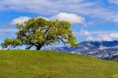 Νέα φύλλα που αυξάνονται στους κλάδους μιας βαλανιδιάς κοιλάδων (Quercus lobata) στην άνοιξη  ΑΜ Χάμιλτον στο υπόβαθρο, νότος SAN στοκ εικόνα με δικαίωμα ελεύθερης χρήσης