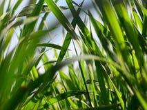 Νέα φύλλα σίτου στο κλίμα μπλε ουρανού απόθεμα βίντεο