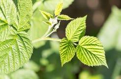 Νέα φύλλα σμέουρων στη φύση Στοκ Φωτογραφίες