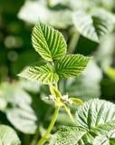 Νέα φύλλα σμέουρων στη φύση Στοκ εικόνες με δικαίωμα ελεύθερης χρήσης