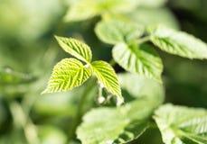 Νέα φύλλα σμέουρων στη φύση Στοκ φωτογραφία με δικαίωμα ελεύθερης χρήσης