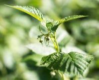 Νέα φύλλα σμέουρων στη φύση Στοκ εικόνα με δικαίωμα ελεύθερης χρήσης