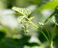 Νέα φύλλα σμέουρων στη φύση Στοκ φωτογραφίες με δικαίωμα ελεύθερης χρήσης