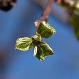 Νέα φύλλα στους κλάδους του δέντρου της Apple Στοκ Εικόνα