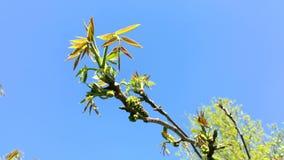 Νέα φύλλα του ξύλου καρυδιάς στους κλάδους δέντρων με το λουλούδι Ταλάντευση στον αέρα φιλμ μικρού μήκους