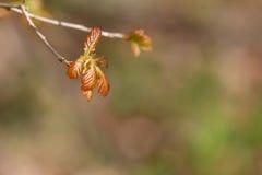 Νέα φύλλα άνθισης Στοκ Φωτογραφίες