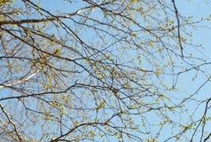 Νέα φύλλα ενάντια στον ουρανό Στοκ φωτογραφίες με δικαίωμα ελεύθερης χρήσης