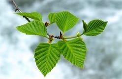 Νέα φύλλα σημύδων που λαμβάνονται στον ήλιο αναδρομικά φωτισμένο στοκ φωτογραφία με δικαίωμα ελεύθερης χρήσης