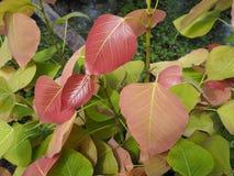 Νέα φύλλα στο δέντρο του BO Στοκ Εικόνες