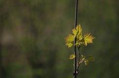Νέα φύλλα της Νίκαιας Στοκ φωτογραφίες με δικαίωμα ελεύθερης χρήσης