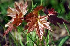 Νέα φύλλα της Νίκαιας Στοκ Φωτογραφία