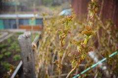 Νέα φύλλα της σταφίδας Στοκ Φωτογραφία