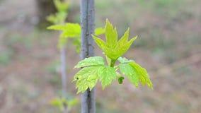 Νέα φύλλα του παλαιότερου δέντρου κιβωτίων που ταλαντεύεται στον αέρα φιλμ μικρού μήκους