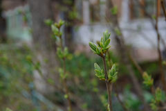 Νέα φύλλα φυτών σε έναν εγχώριο κήπο την άνοιξη Στοκ Φωτογραφία