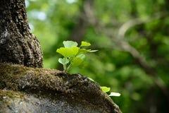 Νέα φύλλα ginko Στοκ Φωτογραφία