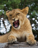 Νέα χασμουρητά λιονταριών Αστεία ρύγχη έκφρασης σαβάνα Εθνικό πάρκο Κένυα Τανζανία Maasai Mara serengeti Στοκ Εικόνες