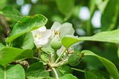 Νέα ωοθήκη των φρούτων της Apple lat Ποικιλίες αρχών του καλοκαιριού domestica Malus Melba Στοκ Εικόνες