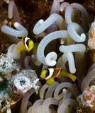 Νέα clownfishes Στοκ φωτογραφία με δικαίωμα ελεύθερης χρήσης