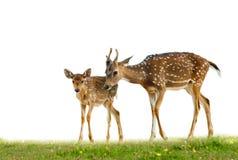 Νέα deers άξονα στη χλόη στοκ εικόνες