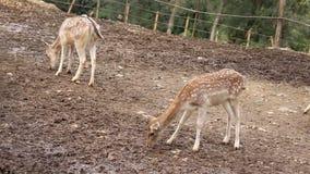 Νέα deers αγραναπαύσεων απόθεμα βίντεο