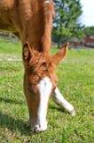 Νέα foal βοσκή Στοκ εικόνες με δικαίωμα ελεύθερης χρήσης