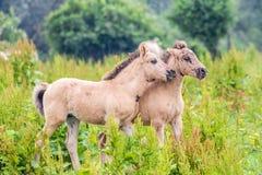 Νέα foals αλόγων που παίζουν από κοινού Στοκ φωτογραφία με δικαίωμα ελεύθερης χρήσης