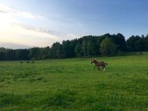 Νέα foals στη μάντρα Στοκ Φωτογραφίες