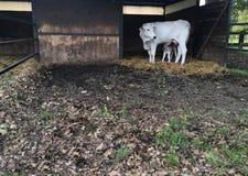 Νέα foals στη μάντρα Στοκ φωτογραφίες με δικαίωμα ελεύθερης χρήσης