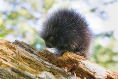 Νέα porcupine μόνιμη ομοβροντία μωρών Στοκ Φωτογραφία
