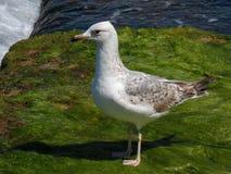 Νέα seagull αναμονή για να απογειωθεί! Στοκ φωτογραφίες με δικαίωμα ελεύθερης χρήσης