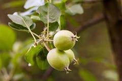 Νέα unripe φρούτα σε ένα δέντρο μηλιάς στοκ εικόνα