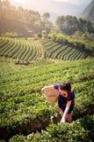 Νέες ασιατικές γυναίκες από τα φύλλα τσαγιού επιλογής της Ταϊλάνδης στον τομέα τσαγιού Στοκ Εικόνα
