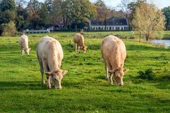 Νέες βόσκοντας Galloway αγελάδες Στοκ εικόνα με δικαίωμα ελεύθερης χρήσης