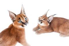 Νέες γάτες Caracal Στοκ Εικόνες