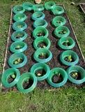 Νέες εγκαταστάσεις γογγυλιού με την προστασία γυμνοσαλιάγκων στο vegatable κήπο Στοκ Εικόνα