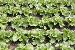 Νέες εγκαταστάσεις σαλάτας (lactuca sativa) Στοκ εικόνες με δικαίωμα ελεύθερης χρήσης