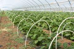 Νέες εγκαταστάσεις της ανάπτυξης λαχανικών μελιτζανών στο θερμοκήπιο κοντά επάνω στοκ εικόνα με δικαίωμα ελεύθερης χρήσης