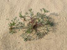 Νέες διαφυγές wormwood πικρό (Artemisia άψηνθος Λ ) Στοκ Εικόνα