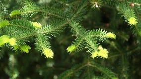 Νέες κίτρινες ανοικτό πράσινο βελόνες του κωνοφόρου δέντρου του FIR, 4K φιλμ μικρού μήκους
