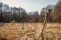 Νέες και μικρές ιτιές που φυτεύονται στη σειρά πίσω από τους κορμούς δασικών δέντρων των ιτιών στο πορτοκαλί άχυρο κοντά στο δάσο Στοκ Φωτογραφίες