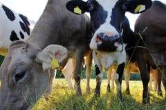 Νέες καφετιές και Simmental αγελάδες Στοκ φωτογραφίες με δικαίωμα ελεύθερης χρήσης