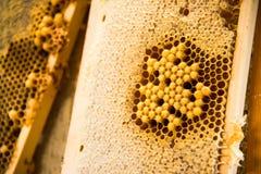 Νέες μέλισσες, αρσενικοί κηφήνες σε ένα πλαίσιο μελιού στοκ εικόνες