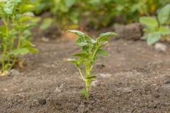 Νέες πατάτες θάμνων στον κήπο Στοκ Εικόνες