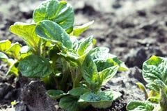 Νέες πατάτες parostki με τα πράσινα φύλλα στοκ φωτογραφίες