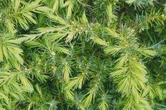 Νέες πράσινες βελόνες ενός canadensis Tsuga κωνοφόρων δέντρων στοκ φωτογραφία