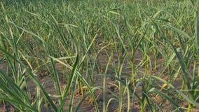 Νέες πράσινες εγκαταστάσεις σκόρδου στον τομέα Το σκόρδο ξεραίνει από την ξηρασία απόθεμα βίντεο