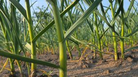 Νέες πράσινες εγκαταστάσεις σκόρδου στον τομέα Το σκόρδο ξεραίνει από την ξηρασία φιλμ μικρού μήκους